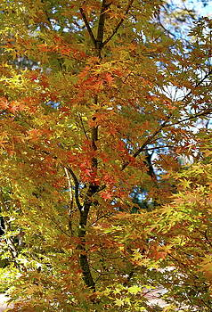 Graceful Golden Maple by Michele Myers