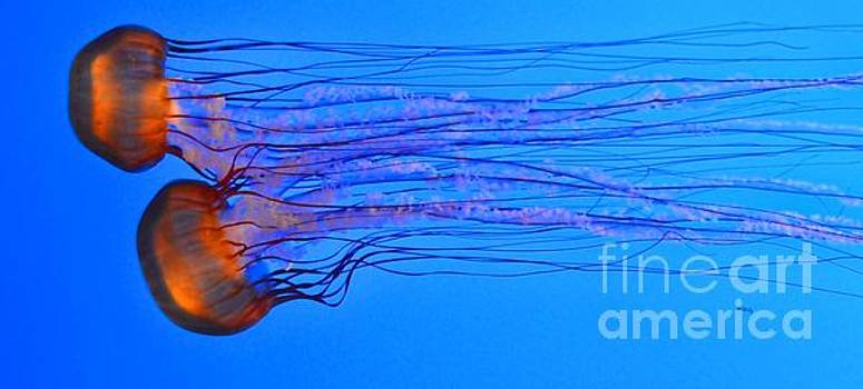 Graceful Jelly Race - Panorama by Patrick Witz