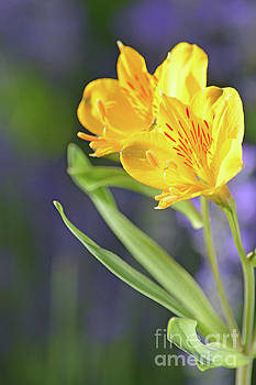 Graceful Wild Lilies by Carol Eliassen