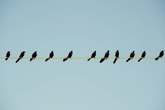 Grackles In A Row by John Gusky