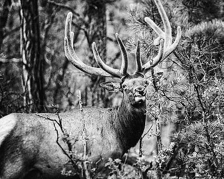 Lisa Russo - Grand Canyon Elk No 2 in Black and White