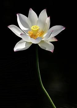 Sabrina L Ryan - Grand Lotus