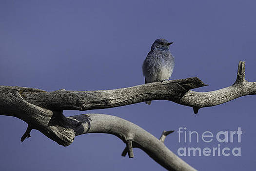 Tim Moore - Grand Teton Blue Bird