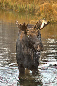 Adam Jewell - Grand Teton Drooling Moose
