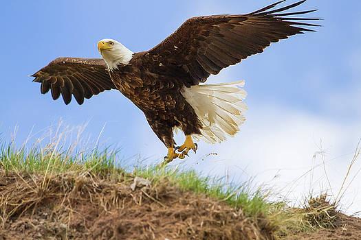 Grand Teton National Park - Bald Eagle  by Jason Penland