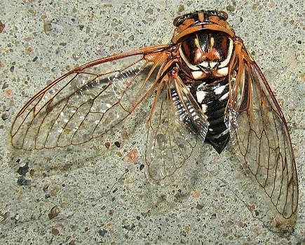 Grand Western Cicada by Joshua Bales