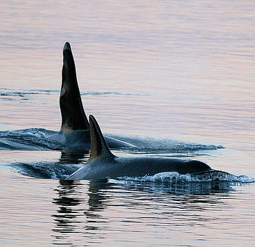 Granny and Ruffles Orca Whales J pod by Sandy Buckley