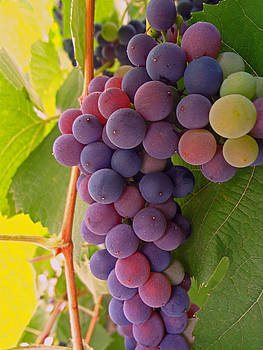 Grape Bunch by Guillermo Rodriguez