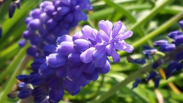 Grape Hyacinth by Kelley Giffen
