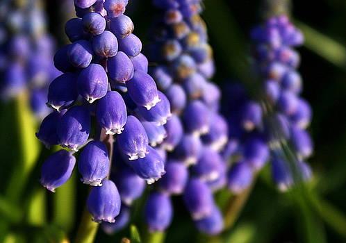 Annie Babineau - grape hyacinths
