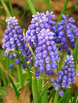 Grape Hyacinths by Lori Frisch