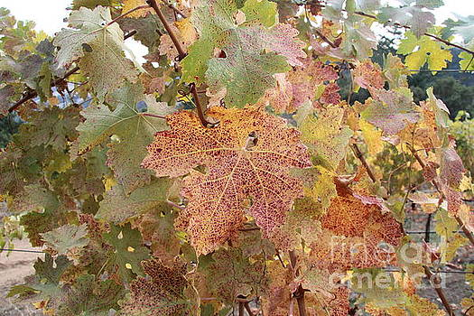 Grape leaves in the fall by Anthony Jones