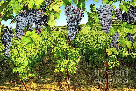 Grape plantation Napa valley by Benny Marty