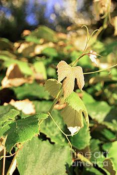 Grape Vine 3 by Janie Johnson
