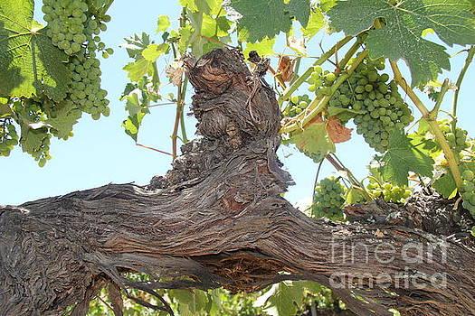 Grape Vines by Anthony Jones