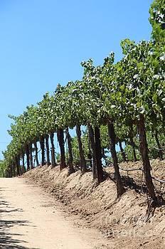 Grape vineyard by Anthony Jones