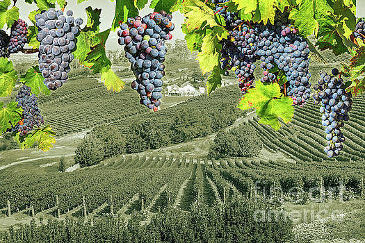 Grape wineland countryside by Benny Marty