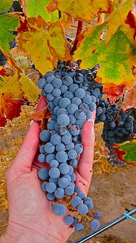 Grapes In Hand by PJ  Cloud