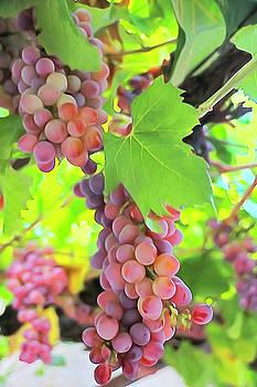 Dennis Cox - Grapes of Montenegro