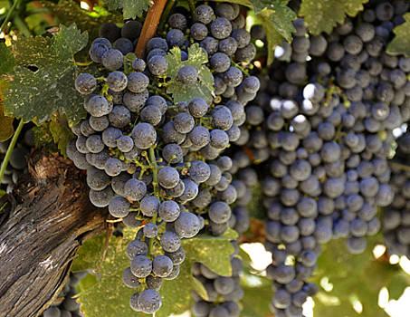 Grapes of Wrath by Jennifer Ferrier
