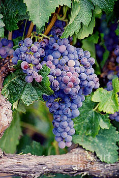 Grapes by Sandy Adams