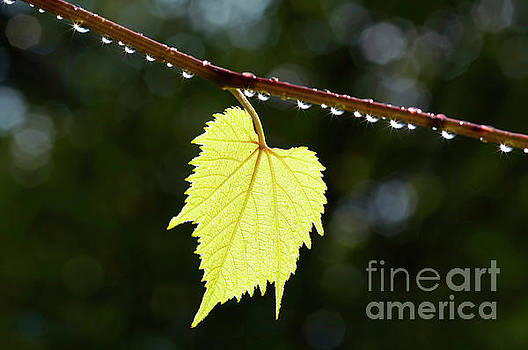 Grapevine leaf in the back lighting after rain by Michal Boubin