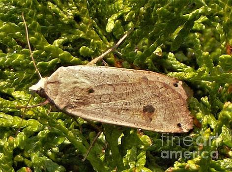 Grapevine Moth       September          Indiana by Rory Cubel