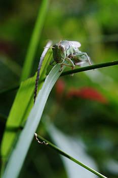 Grasshopper by Charlene  Tang