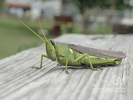 Grasshopper by Diane Friend