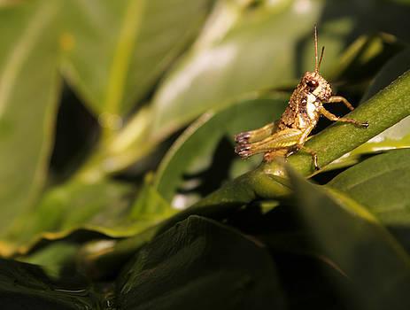 Magdiel - Grasshopper