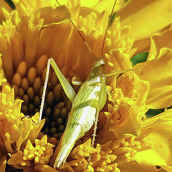 Grasshopper on Marigold by Amy Jo Garner