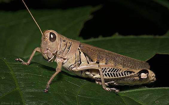 Warren Sarle - Grasshopper