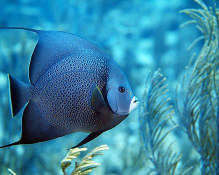 Pauline Walsh Jacobson - Gray Angelfish, U. S. Virgin Islands