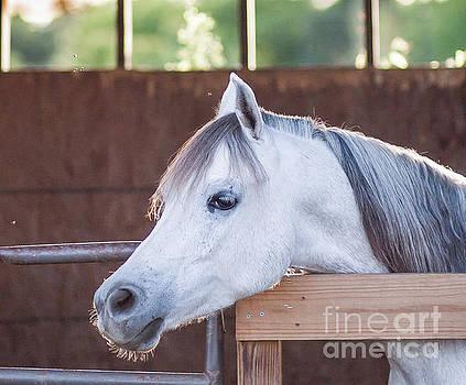 Gray Arabian by Julia Rigler