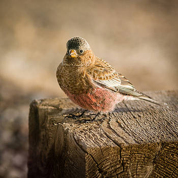 Gray Capped Rosy Finch on Block #1 by John Brink
