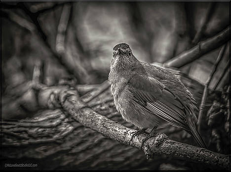 Gray Catbird by LeeAnn McLaneGoetz McLaneGoetzStudioLLCcom