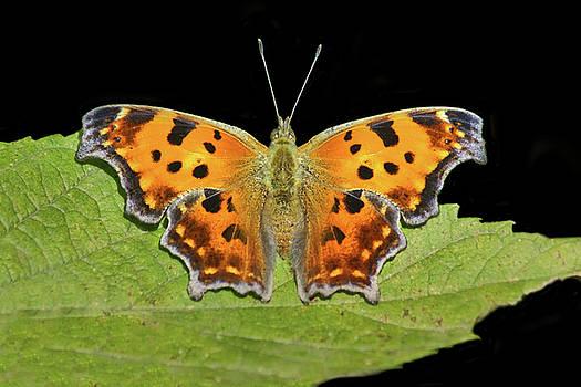 Nikolyn McDonald - Gray Comma - Butterfly