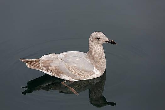 John Daly - Gray Gull Reflection