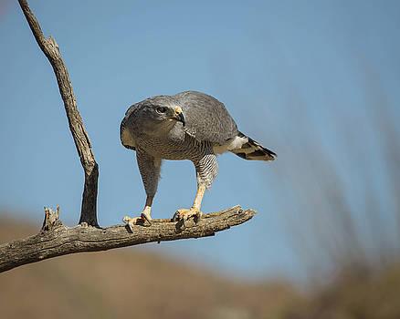 Gray Hawk-IMG_242818 by Rosemary Woods-Desert Rose Images