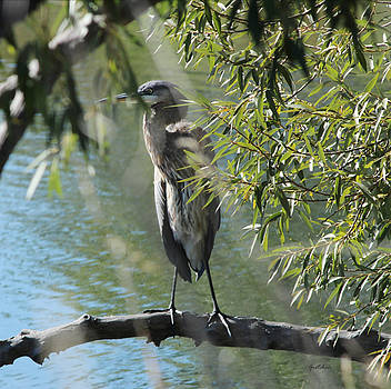 Gray Heron Perched at Pond by Gretchen Wrede