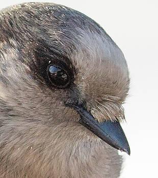 Dee Carpenter - Gray Jay Closeup