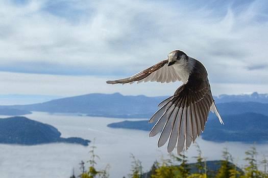 Gray Jay mid flight by Ian Harland