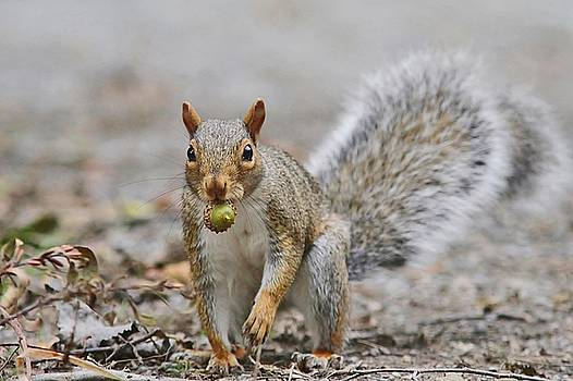 Gray Squirrel carrying an acorn by Linda Crockett