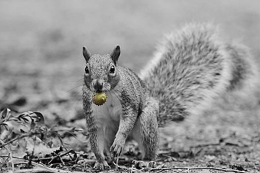 Gray Squirrel with Acorn - selective color by Linda Crockett
