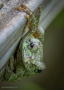 Gray Tree Frog by LeeAnn McLaneGoetz McLaneGoetzStudioLLCcom