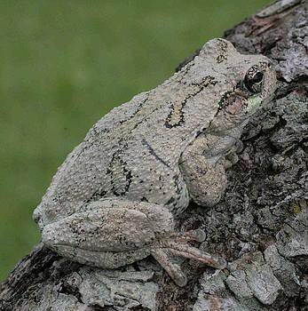 Gray Tree Frog on Tree Branch by Matt Cormons