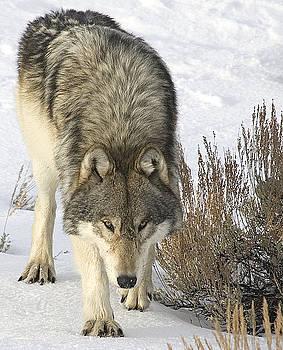 Gray Wolf by Gary Beeler