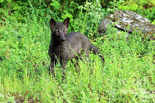 Gray wolf pup by Louise Heusinkveld