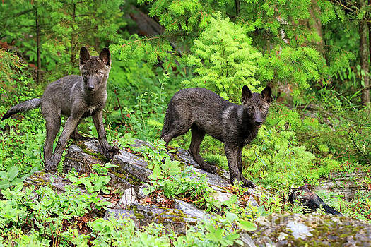 Gray wolf pups by Louise Heusinkveld