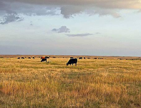 Grazing Cattle by Kelli Chrisman